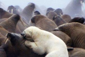 Clip: Gấu Bắc Cực trả giá đắt cho việc săn voi biển khổng lồ