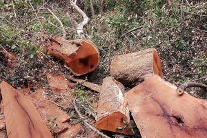 Khởi tố 16 đối tượng cưa hạ gỗ quý Vườn Quốc gia Yok Đôn
