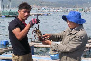 Thức ăn tôm đang 'đầu độc' vịnh Xuân Đài