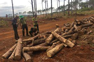Đắk Nông: Bắt chủ tịch xã Đắk R'tíh liên quan đến vụ phá hơn 400 cây thông cổ thụ