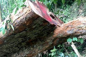 Hà Giang phát hiện trên 142 m3 gỗ quý hiếm bị chặt hạ tại rừng đặc dụng Phong Quang