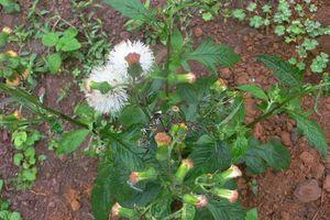 Gặp cây rau tàu bay trong vườn