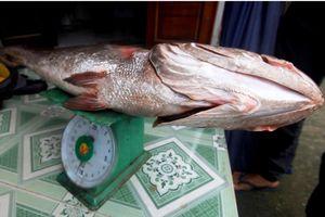 Hai ngư dân Quảng Nam câu được cá lạ nghi là cá sủ vàng quý hiếm