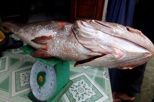 Câu được cá lớn 10 kg nghi cá sủ vàng quý hiếm