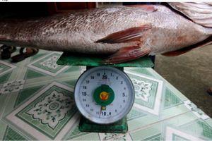Câu được cá nghi là Sủ vàng quý hiếm nặng hơn 10 kg
