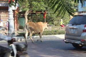Trâu bò vô tư đi dạo trên đường phố Quy Nhơn, dân bất an