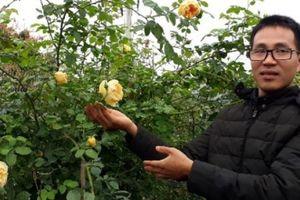 Kỹ sư điện tử thất nghiệp về trồng hoa hồng ngoại 'bỏ túi' 100 triệu/năm