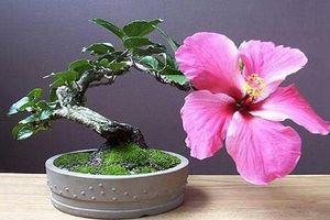 Mê tít những chậu bonsai chỉ một bông hoa