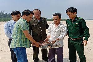 Ngỡ ngàng lai lịch cá thể rùa biển mắc lưới ngư dân phá Tam Giang