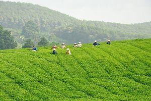 Thăm đồi chè thu tiền tỷ của nông dân Việt
