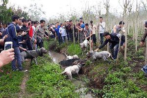 Chó săn cắn xé lợn rừng man rợ giữa lòng Hà Nội