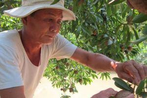 Chỉ 23 gốc sapôchê, thu 8 lần/năm, Tết hái 1 tấn trái, lãi 15 triệu