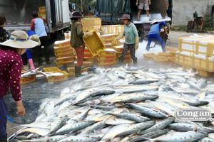Tàu cá Quảng Ngãi trúng mẻ cá bẹ xước tiền tỷ