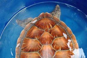 Rùa biển nằm trong sách đỏ mắc lưới ngư dân trên vùng phá Tam Giang