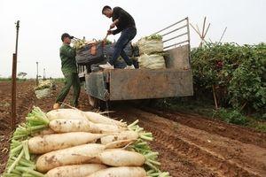 Hà Nội: Siêu thị đồng loạt 'giải cứu' củ cải trắng