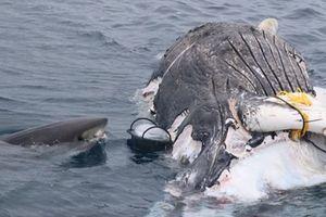 Cá mập lao vào thưởng thức 'đại tiệc' trên xác cá voi