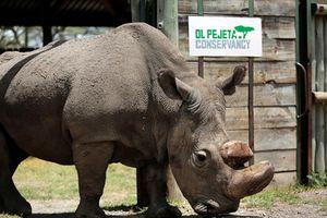 Tê giác đực loài trắng Châu Phi cuối cùng trên thế giới đã chết