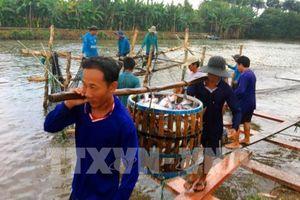 Người nuôi cá tra có lãi nhất nhất từ trước đến nay