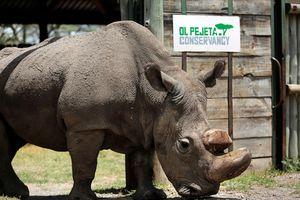 Chú tê giác trắng đực hiếm hoi trên thế giới vừa chết