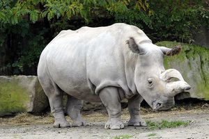 Tê giác trắng phương Bắc đực cuối cùng qua đời