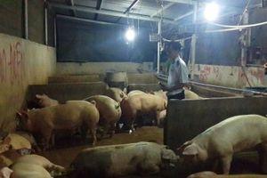 Đồng Nai: Đột kích bắt quả tang 79 con lợn được bơm nước trước khi giết mổ