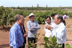 Vinacas hỗ trợ nông dân Campuchia trồng điều