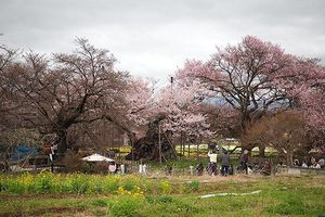 Ngắm 'cụ' anh đào 1.800 tuổi - báu vật quốc gia vô giá của Nhật Bản