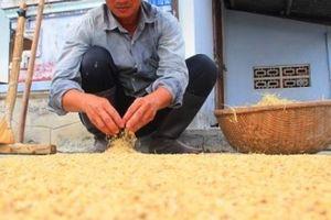 Nếp Chánh Trạch đi Tây: 'Một nhà nấu xôi, cả làng thơm nức mũi'