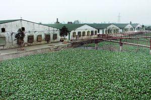 Thách thức ô nhiễm từ chăn nuôi