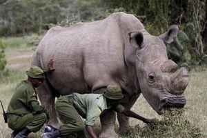 Nhen nhóm nỗ lực tái sinh loài tê giác trắng châu Phi