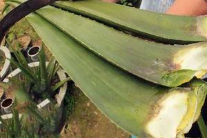 Vườn nha đam Nam Mỹ cho lợi nhuận cao của một lão nông U80