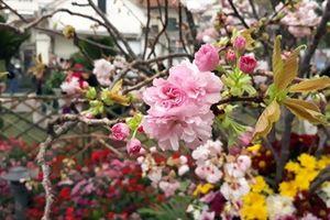 Hàng triệu bông anh đào Nhật Bản khoe sắc tại Hà Nội