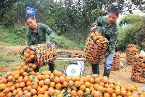 Diện tích trồng liên tục mở rộng khiến giá cam trượt dốc không phanh