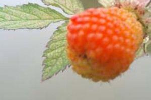 Clip: Từ cây dại, quả mâm xôi hóa đặc sản được 'săn' lùng để ăn