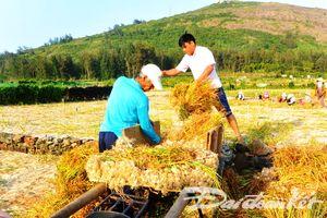 Quảng Ngãi: Lý Sơn vào vụ mùa thu hoạch tỏi