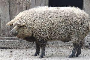 Ngắm giống lợn siêu hiếm, lông xoăn rực rỡ nhiều màu