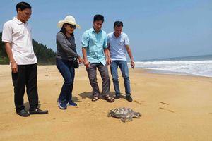 Huế: Thả rùa biển quý hiếm 7kg về biển