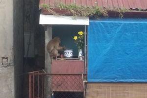 Phường bó tay 24 ngày bắt khỉ: Nhờ sức dân
