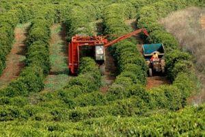 Giá thấp, nông dân Brazil vẫn ào ào mở rộng vùng trồng cà phê
