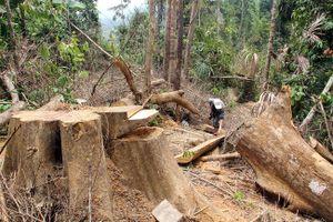 Quảng Nam: Phát hiện thêm vụ phá rừng quy mô lớn ở rừng phòng hộ sông Kôn