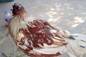 Chú gà bị chặt đầu một tuần vẫn sống và đi lại khỏe mạnh, người dân hiếu kỳ ùn ùn tới xem