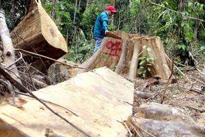 Rừng phòng hộ Sông Kôn bị 'làm thịt' nghiêm trọng