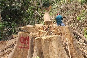 Thêm 1 vụ 'xẻ thịt' rừng phòng hộ ở Quảng Nam