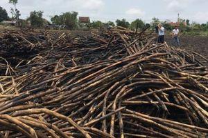Phú Yên họp khẩn vụ dân đốt bỏ mía vì giá còn 10 triệu đồng/ha