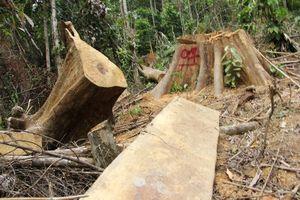 Phó Chủ tịch Quảng Nam xót xa nhìn rừng 'đổ máu'