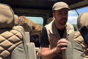 Bầy báo gêpa 'tấn công' xe chở du khách thăm safari