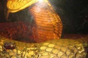 Chuyện dựng tóc gáy về rắn khổng lồ nặng tới vài trăm kg ở rừng U Minh