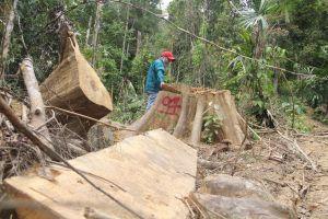Quảng Nam: Rừng phòng hộ Sông Kôn bị tàn phá nghiêm trọng