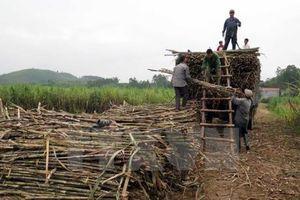Phú Yên: Nhà máy đường cam kết mua mía cho nông dân