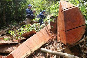 Xót lòng nhìn khu rừng lim cổ thụ hàng trăm năm tuổi bị tàn phá